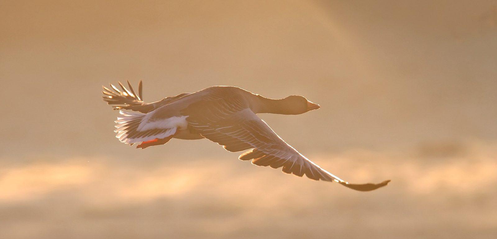 Oie cendrée en vol coucher de soleil