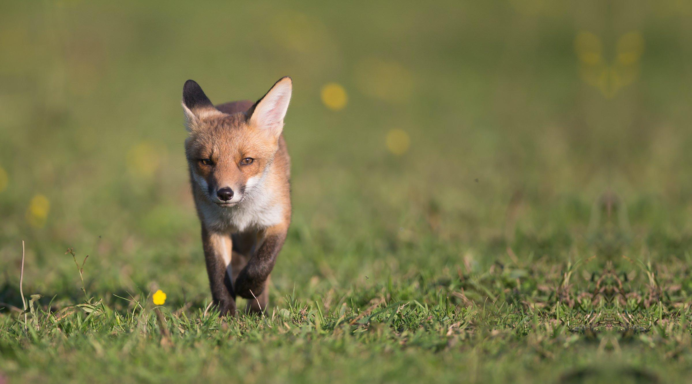 photo d'un renard chasse
