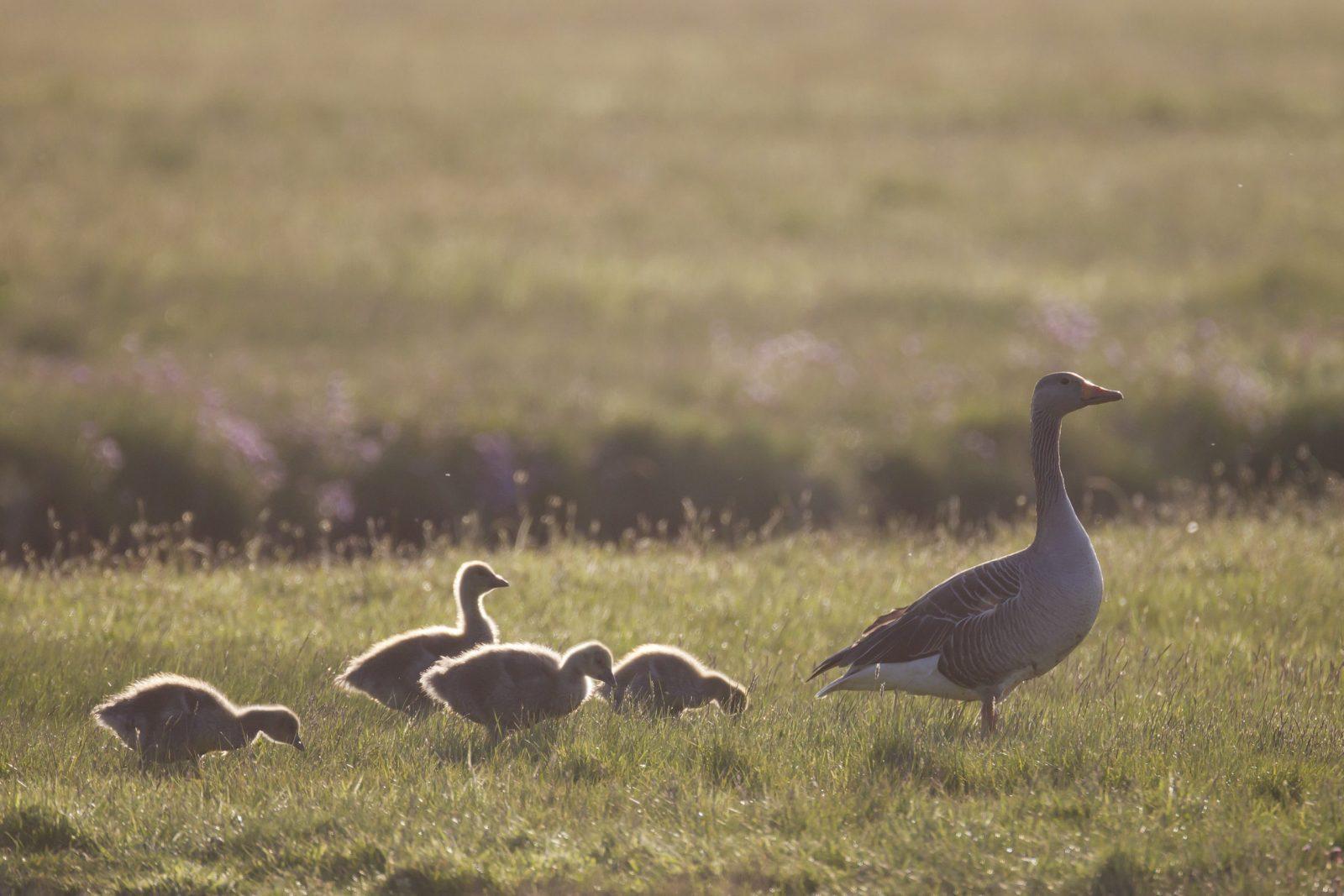 photo famille oies cendrées mère et petits
