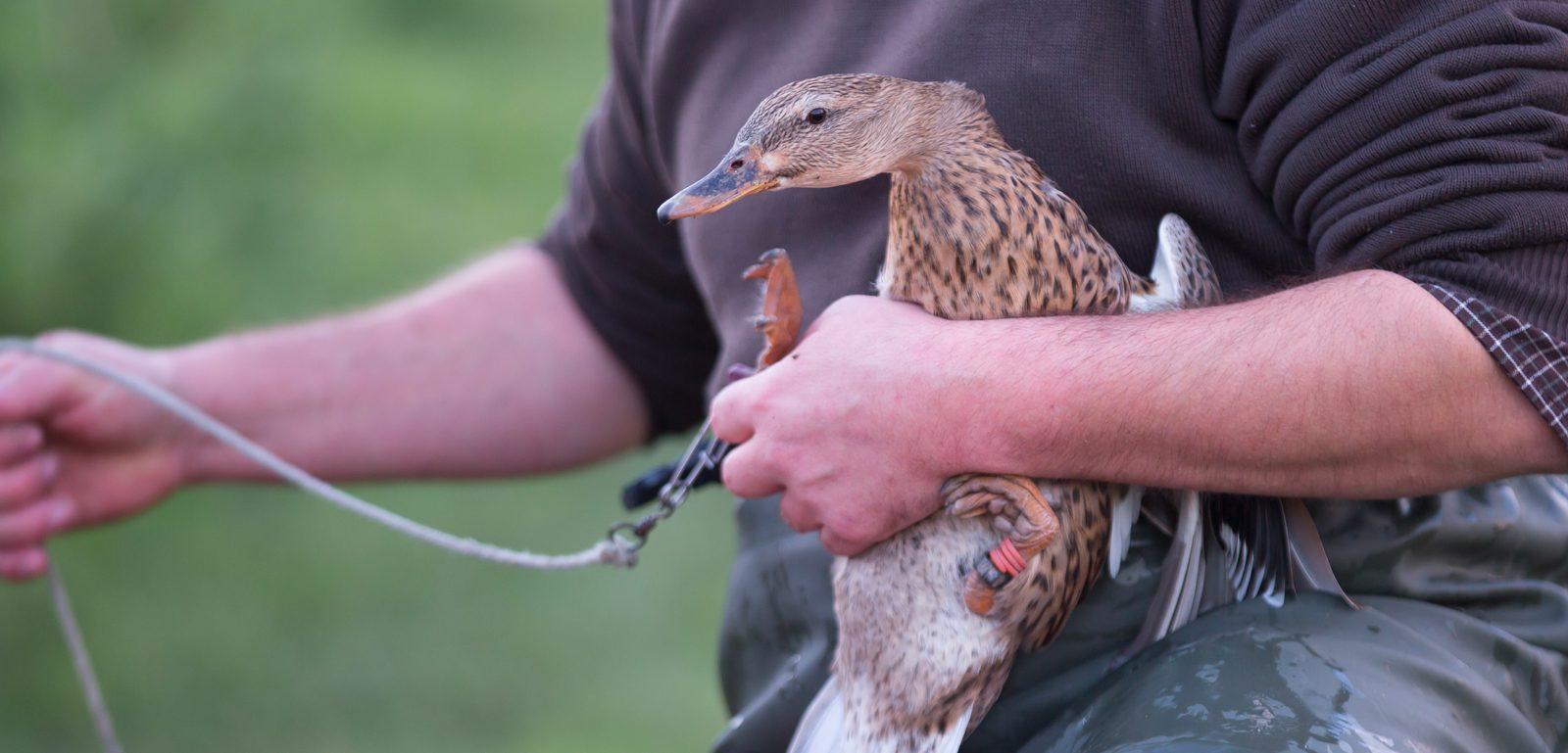 chasseur pose un appelant sur une canne