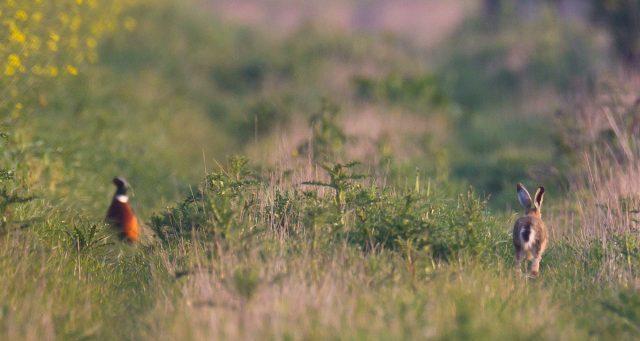 Faisan et lièvre en plaine