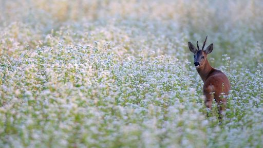 Chevreuil brocard dans un champs de fleurs