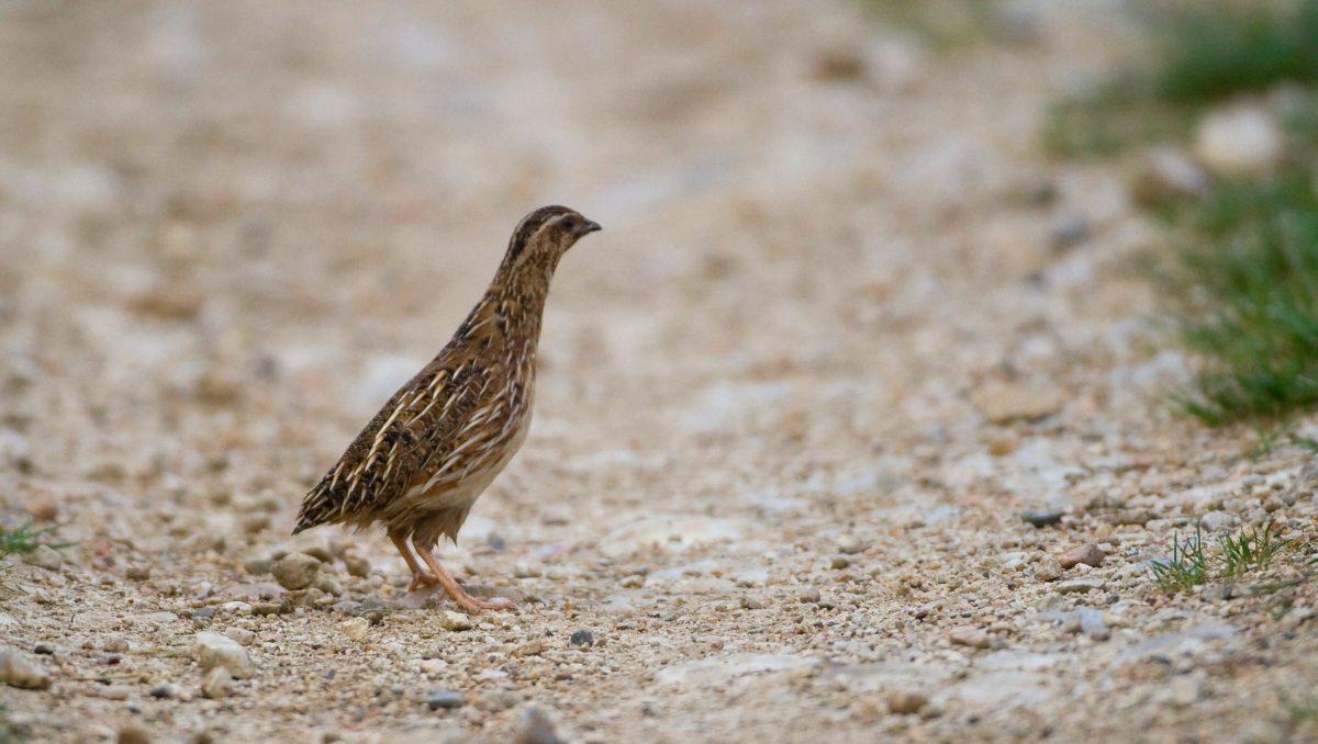 photo caille des blés oiseau