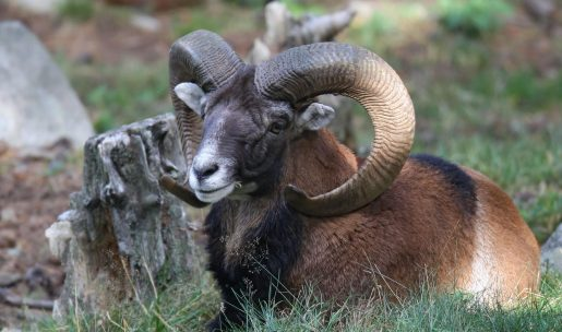 photo Mouflon couché montagne
