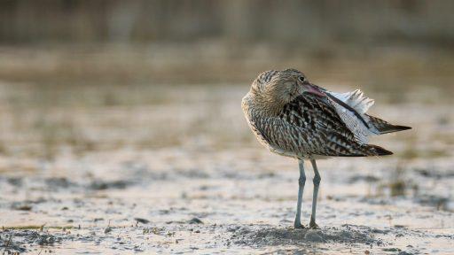 oiseau avec son bec dans ses plumes