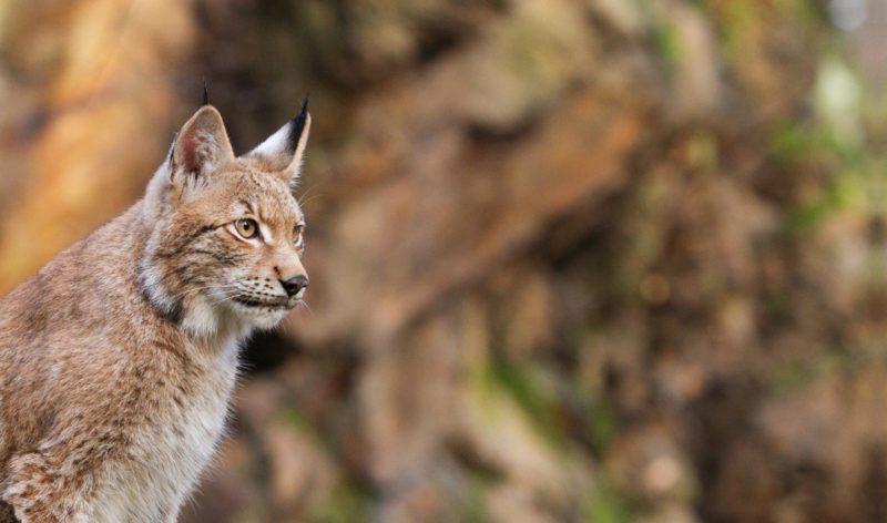 lynx grand prédateur en France