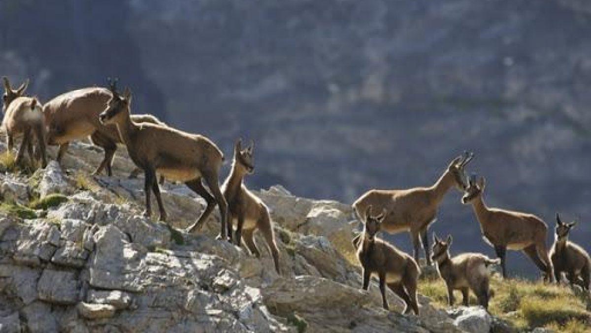 isard groupe congénères en montagne