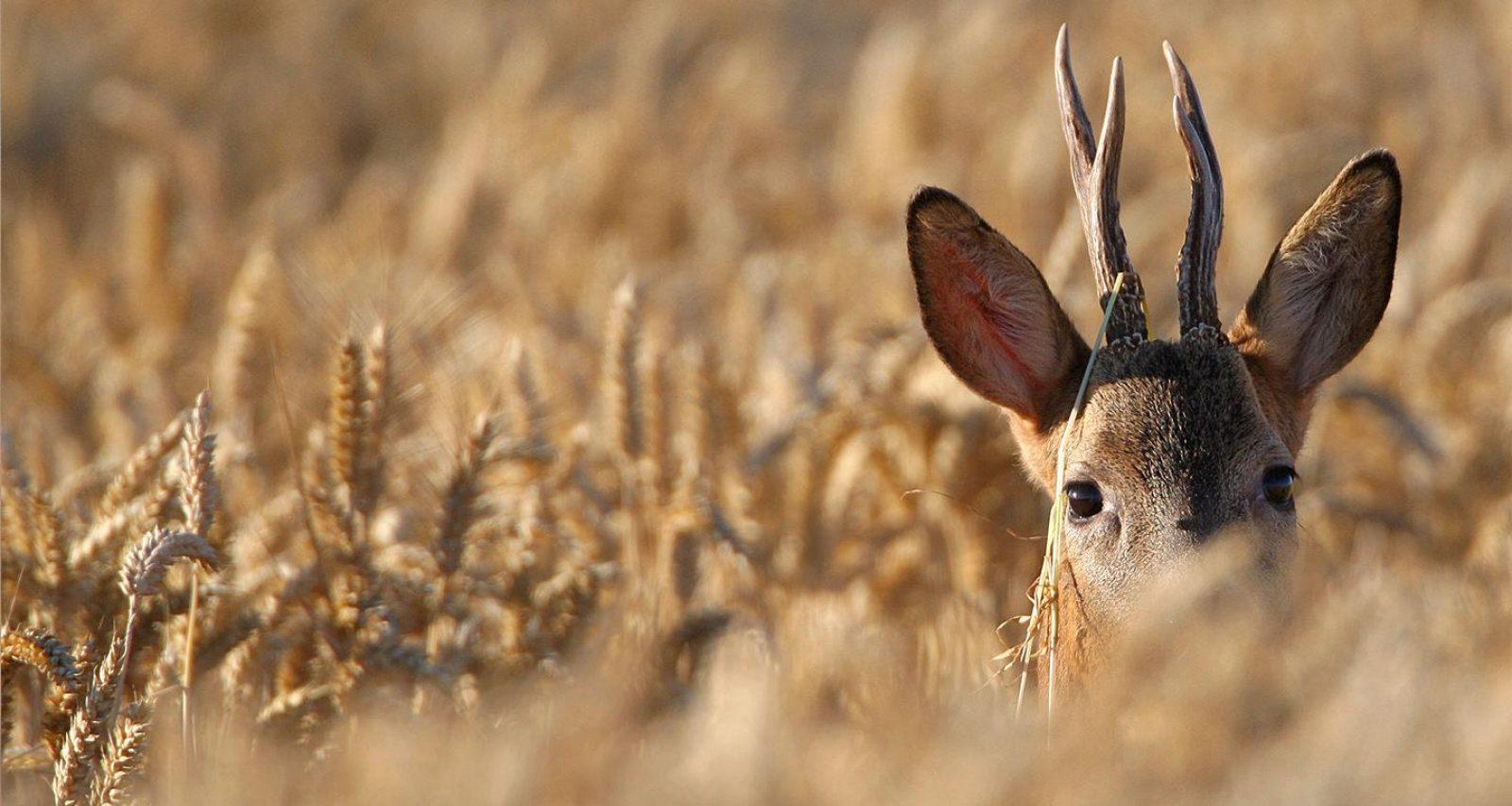 un chevreuil brocard dans un champs