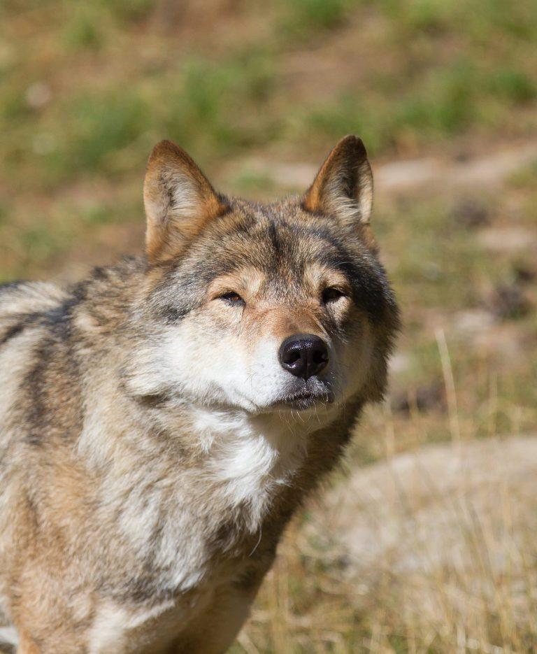 Loup en france grand prédateur