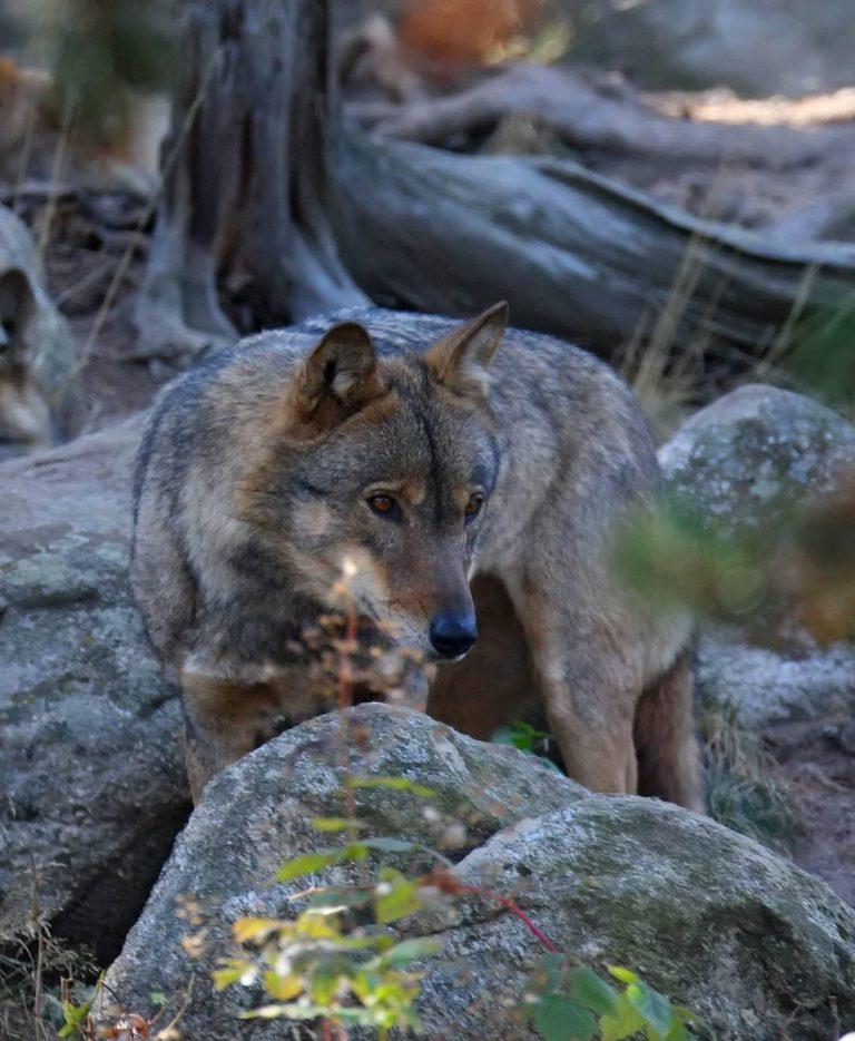 photo d'un loup grand prédateur en france