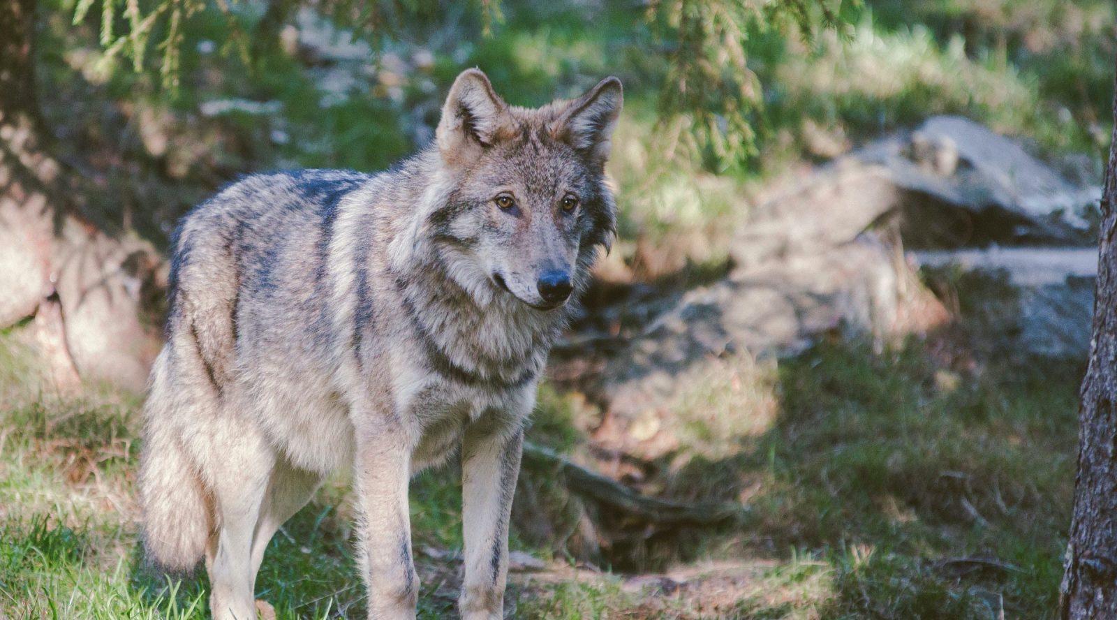 loup en forêt en france grand prédateur chasse