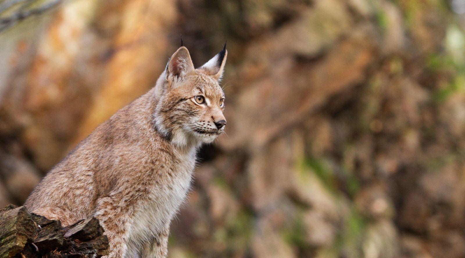 lynx en forêt grand prédateur chasse france