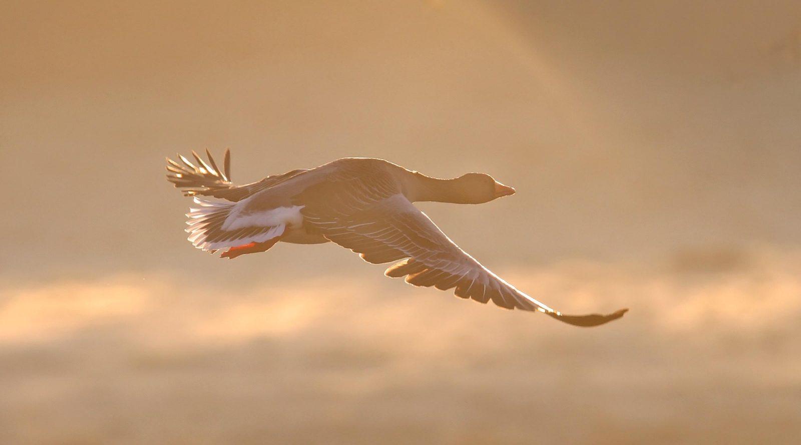 une oie cendrée en vol dans le ciel