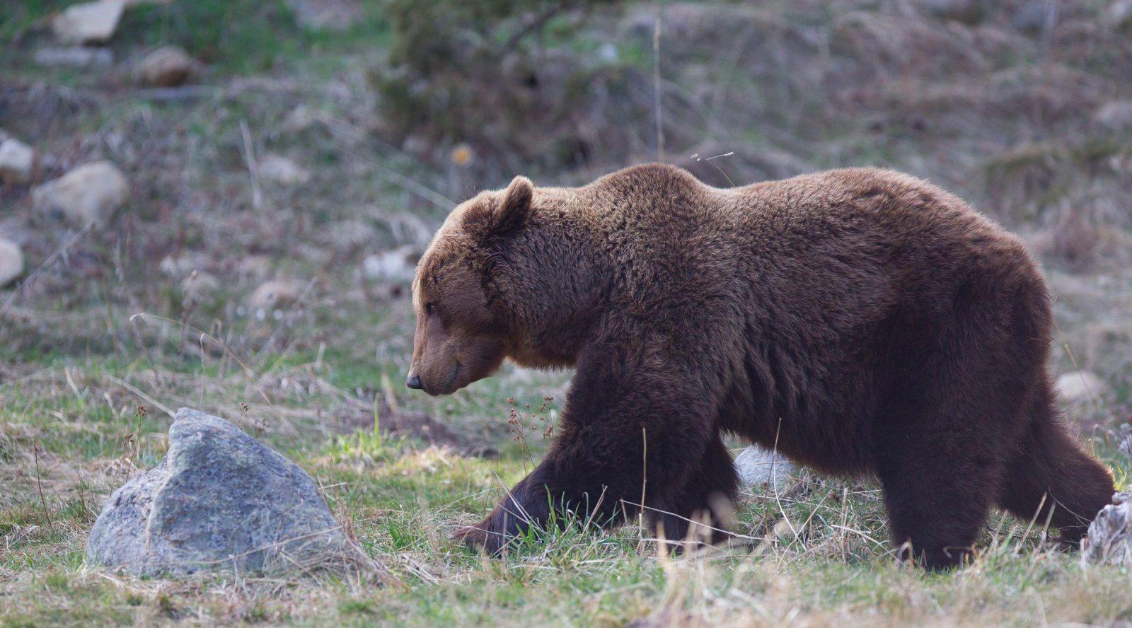 ours brun france grand prédateur chasse