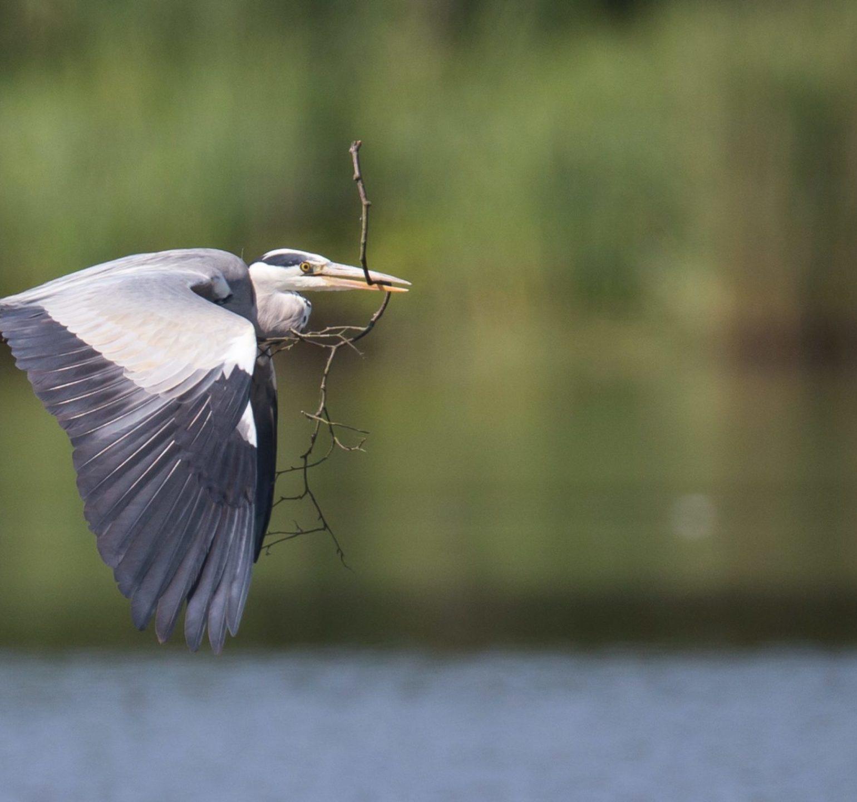 photo héron en vol au-dessus d'un étang