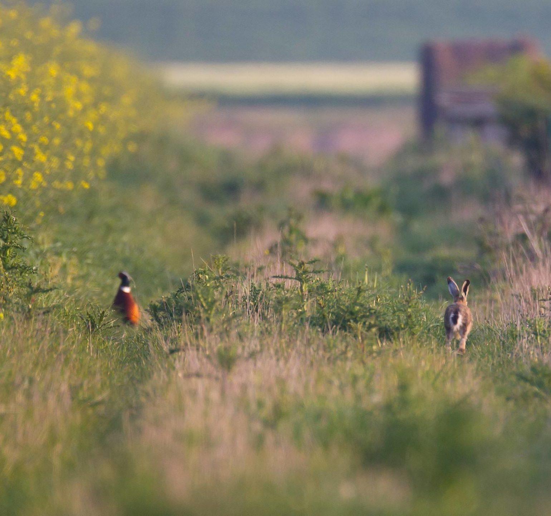 chasse faisan et lièvre dans un champs