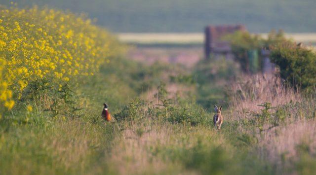 Faisan vénéré et lièvre dans un champs