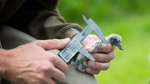 chasseur bague un jeune pigeon