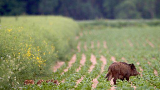 Un sanglier dans un champs cultivé dégâts de gibier