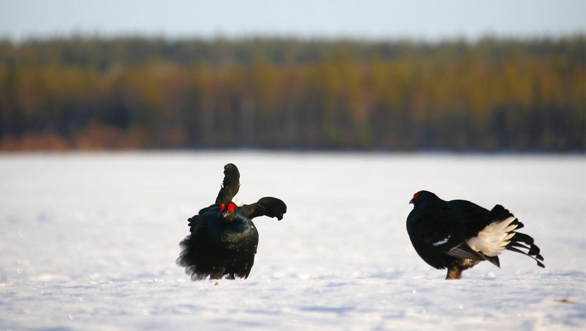 tetras lyre en vol au-dessus d'un étang