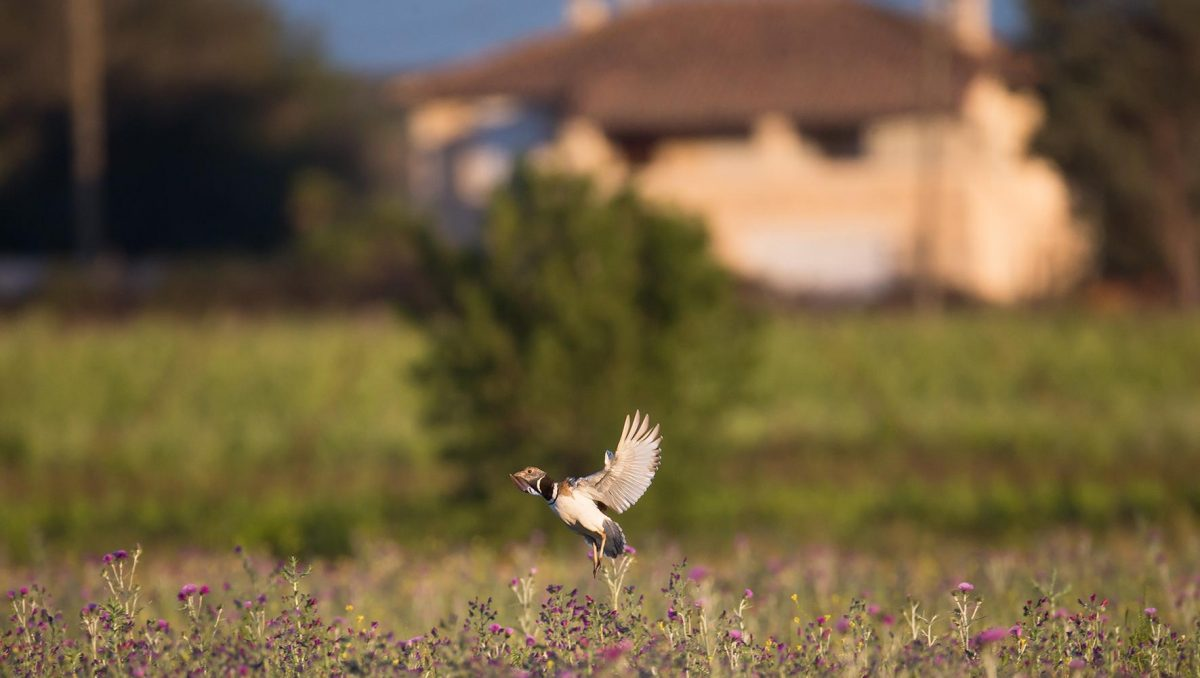 oiseau champs de moutarde