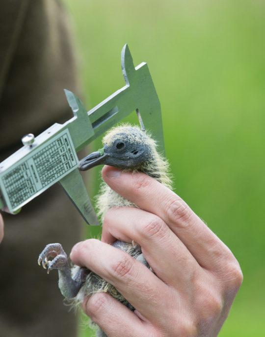 Action technique des chasseurs en faveur des oiseaux