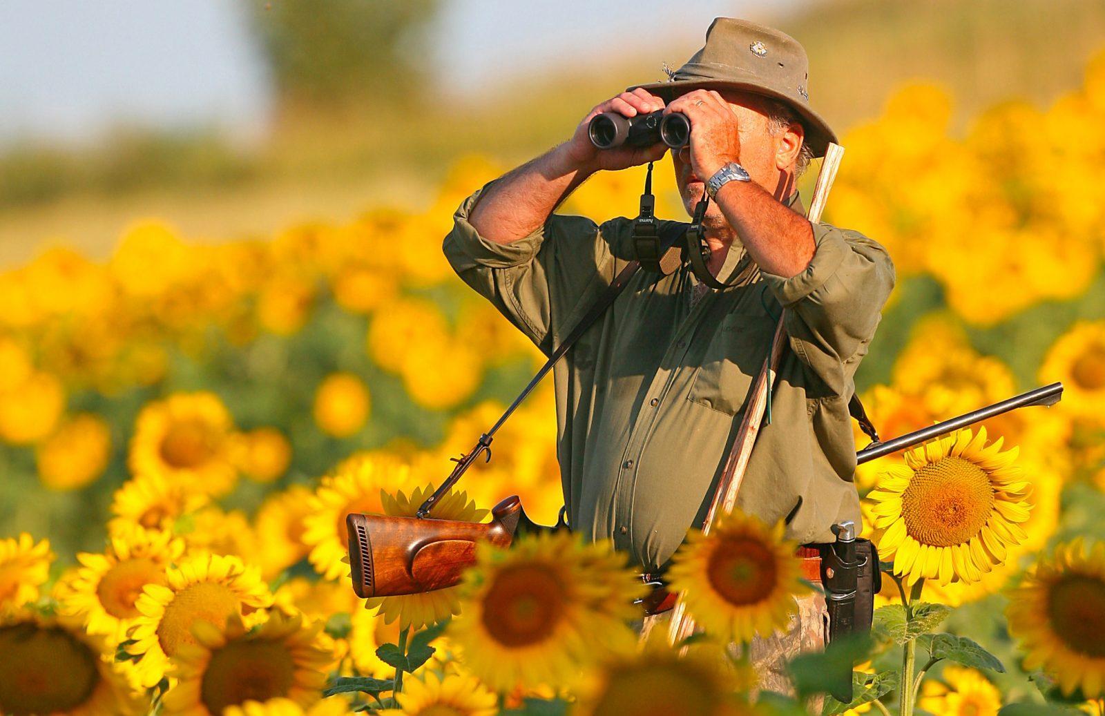 chasseur chasse à l'approche champs de tournesols