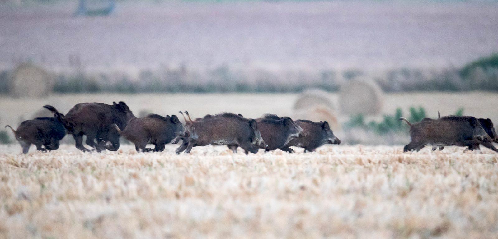 compagnie de sangliers en plaine