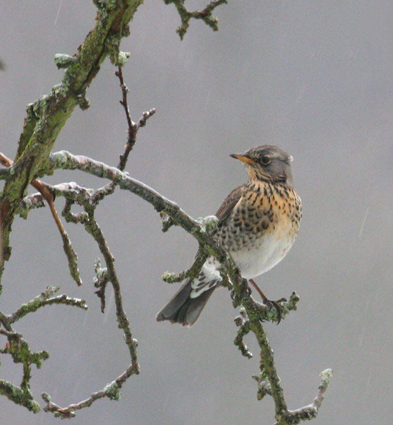 chasse oiseau