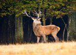 photo cerf chasse