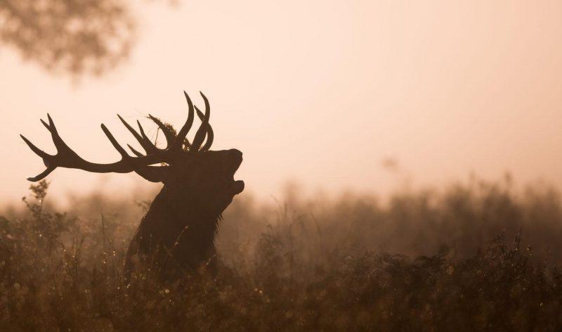 Photo d'un cerf qui brame en forêt
