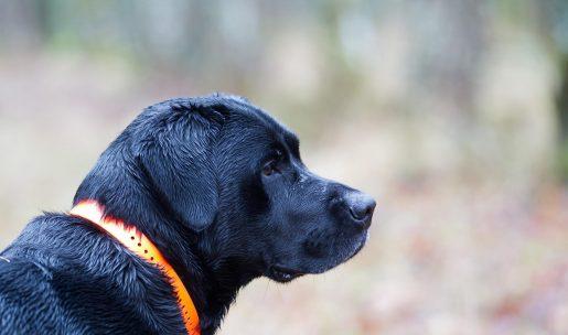 labrador race chien de chasse avec collier