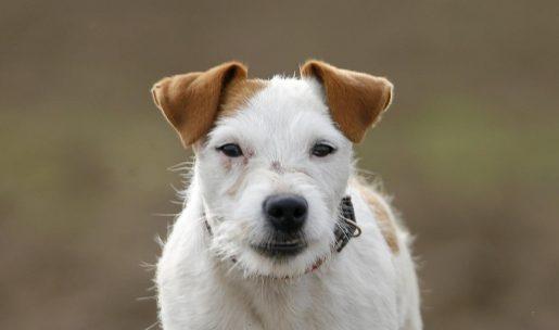 jack russel race de chien de chasse