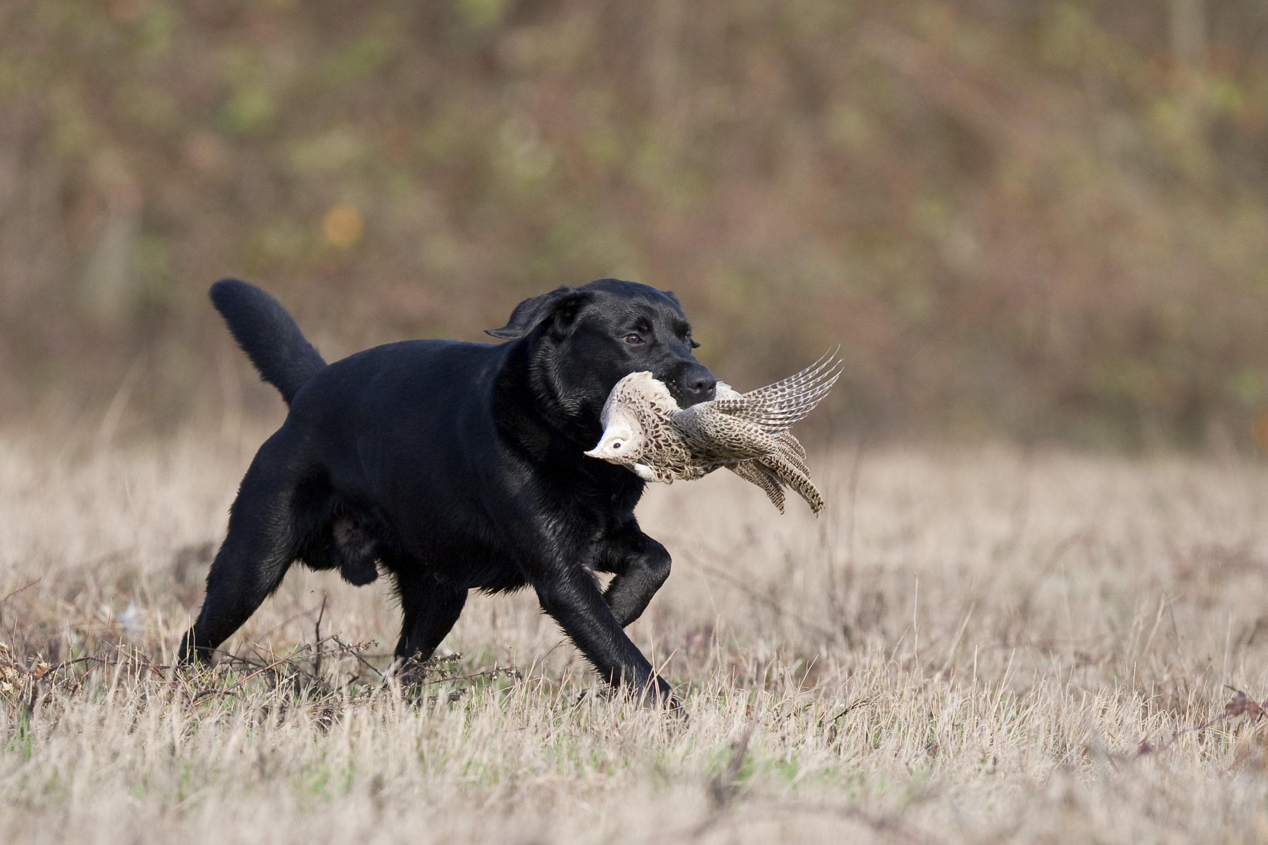 Chien de chasse de race labrador retriever du Labrador