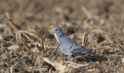 photo Pigeon colombin