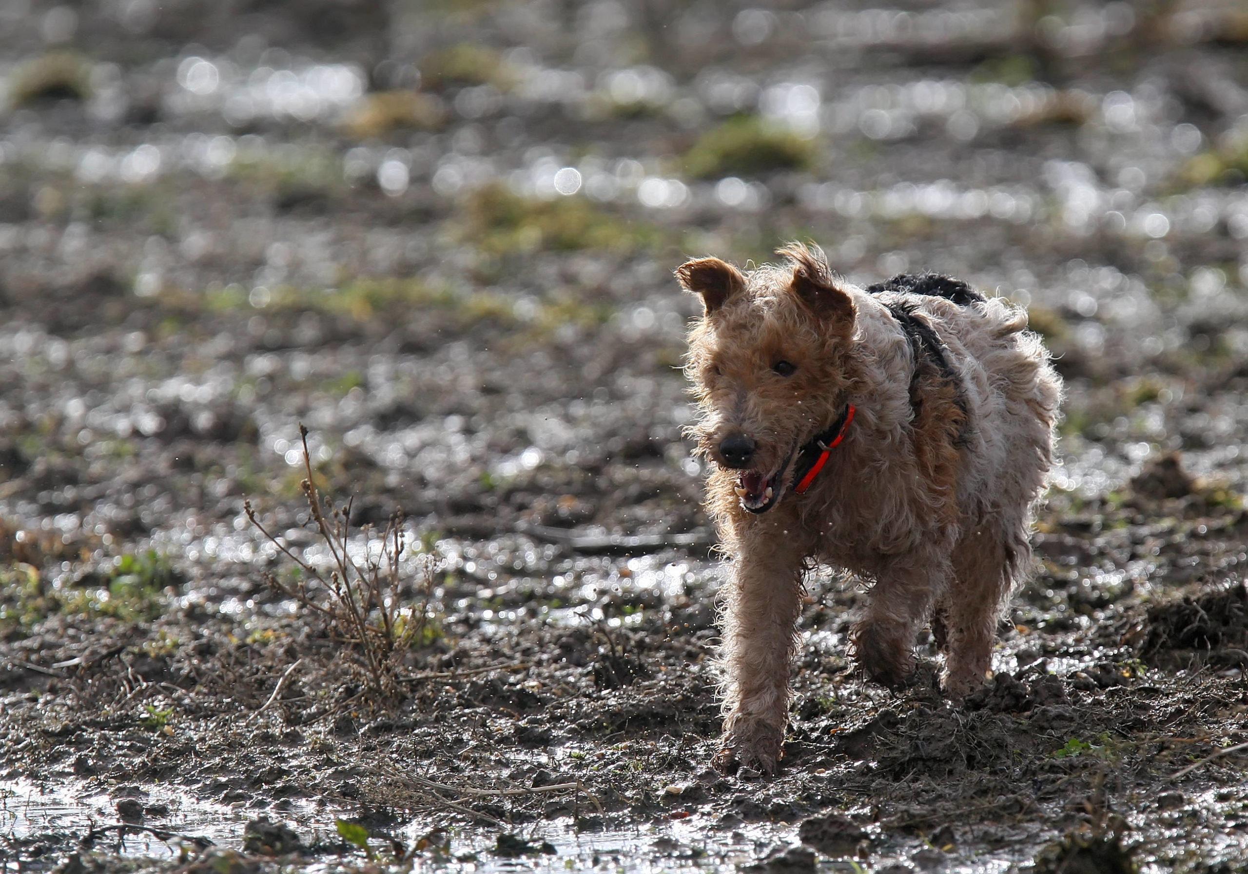 Chien de chasse de race fox terrier