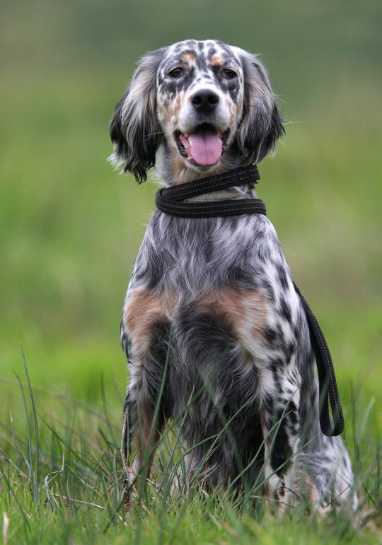 Photo chien de chasse assis dans un champs