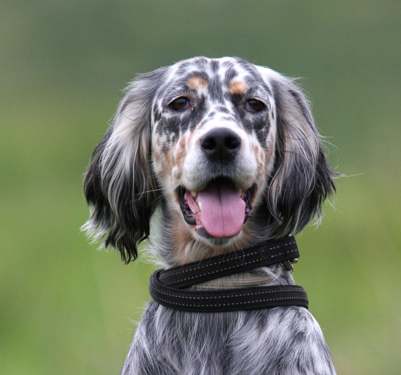 setter race de chien de chasse