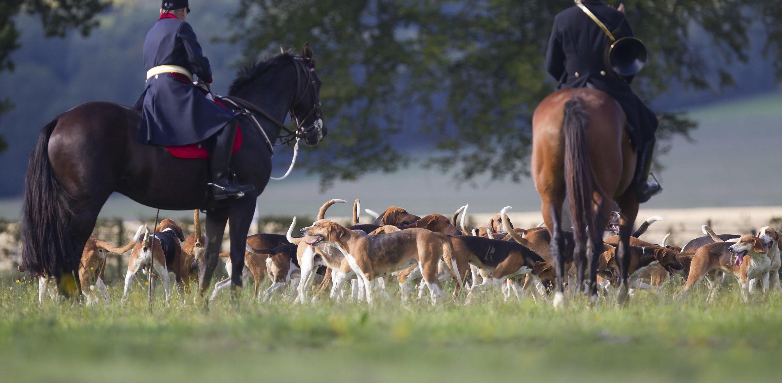 chiens de chasse Equipage de chasse à courre