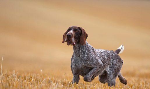 drahthaar race de chien de chasse