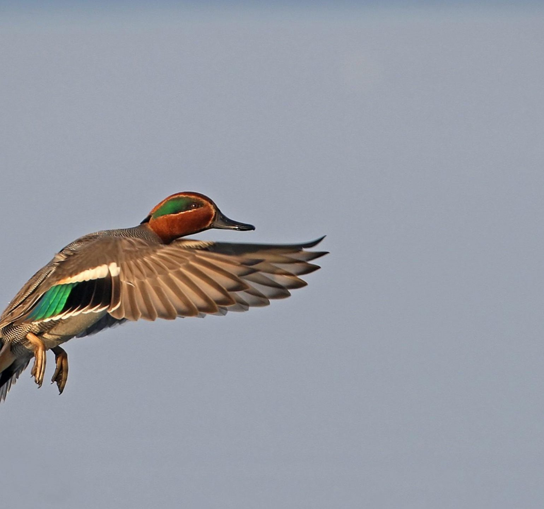 photo canard chasse