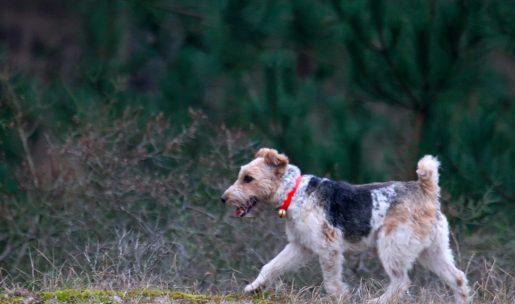 Chien de chasse de race fox terrier à poil dur