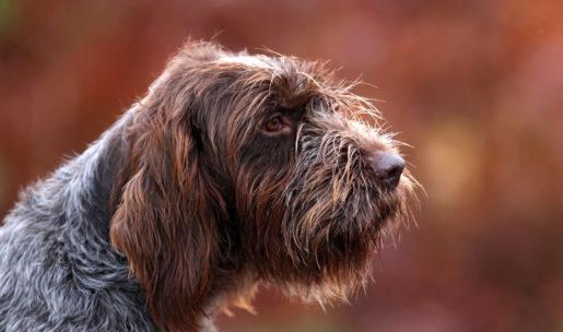 chien de chasse de race griffon d'arrêt à poils durs