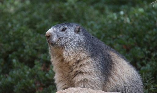 photo Marmotte