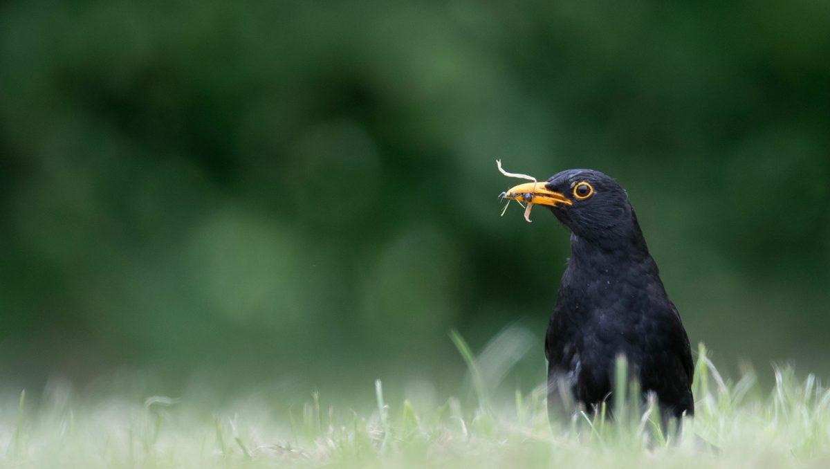 photo merle noir oiseau