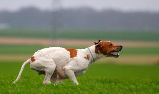 photo chien de chasse de race pointer