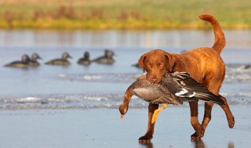 chien de chasse de race Retriever de Chesapeake
