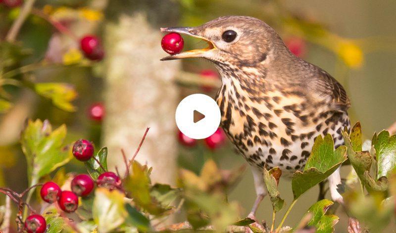 Vidéo de chasse à la glu