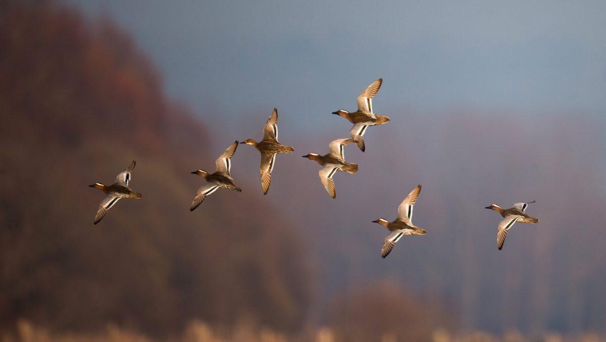 canard sarcelles en vol dans le ciel