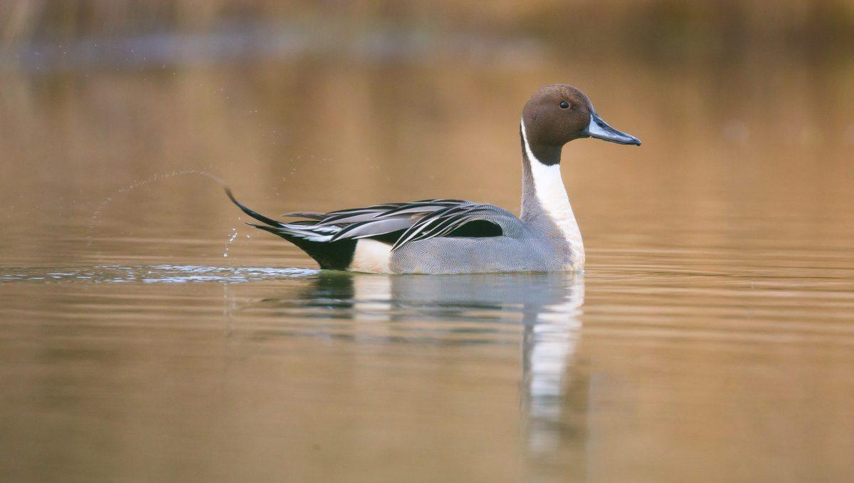 canard nage sur l'eau
